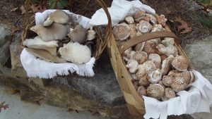 grey dove oysters mushroom farm tour