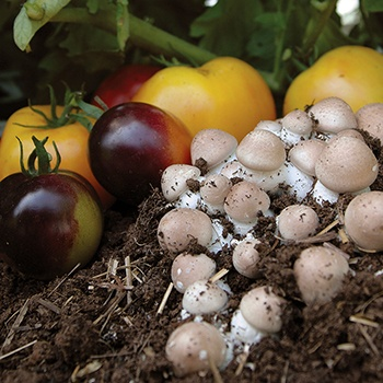 Almond Agaricus Mushroom
